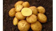 Вінета - сорт картоплі. Опис, фото