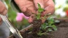 Віола: вирощування з насіння для дачі
