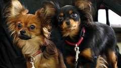В`язка собак на який день тічки проводиться? В якому віці можна в`язати собаку?