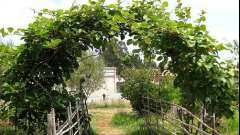 Кучеряві рослини для саду - вертикальне озеленення