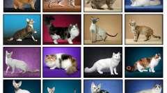 Всі породи кішок: найрідкісніші, найпопулярніші