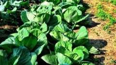Вирощування ранньої капусти. Рання капуста: посадка і догляд