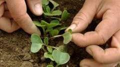 Вирощування редису: як отримати хороший урожай