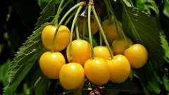 Жовта черешня: опис, корисні властивості і кращі рецепти. Варення з жовтої черешні без кісточок - рецепт і особливості приготування