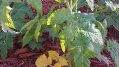 Жовтіють листя у розсади помідор? Дізнайтеся причину